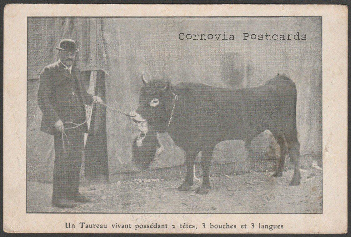 two-headed-cow01.jpg